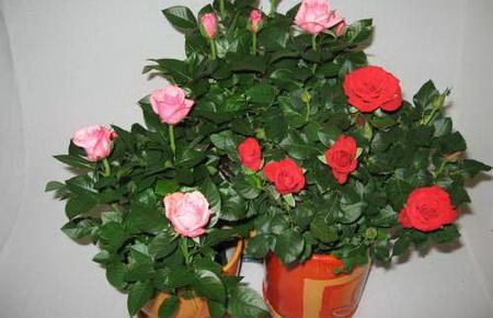 Цветы комнатные фото фикусы